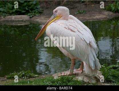 Eastern White Pelican (pelecanus onocrotalus), London Zoo, England - Stockfoto
