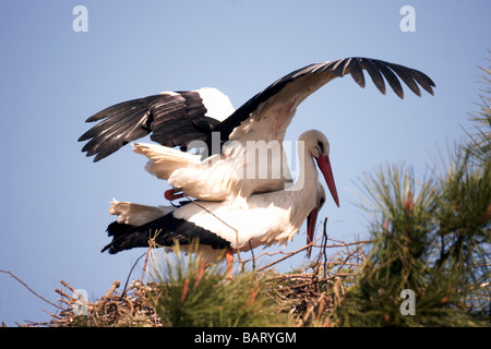 Birds;Storks;White Stork;'Ciconia ciconia';Pair mating on the nest. - Stock Photo