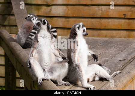 Ring Tailed Lemurs, Blair Drummond Safari Park, Stirling, Scotland - Stockfoto