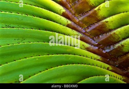 Plant detail, pandanus - Stockfoto
