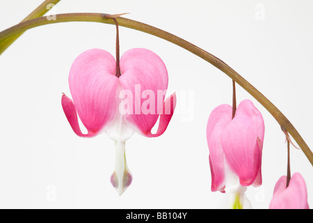 Still life floral image of Dicentra spectabilis heart shaped flowers on a white background - Stock Photo