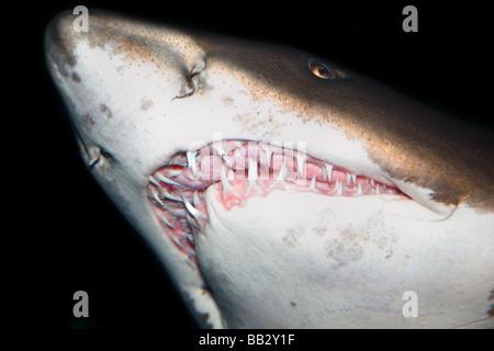 Close up on sharks teeth - Stock Photo