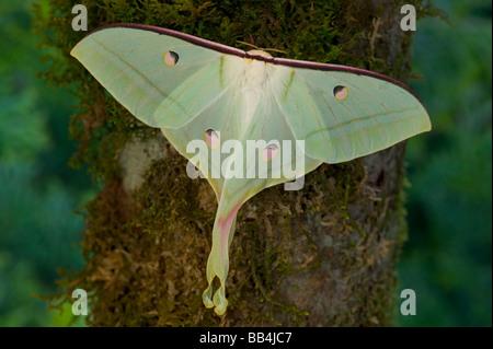 Sammamish, Washington and the Indian Moon Moth Actias selene - Stockfoto