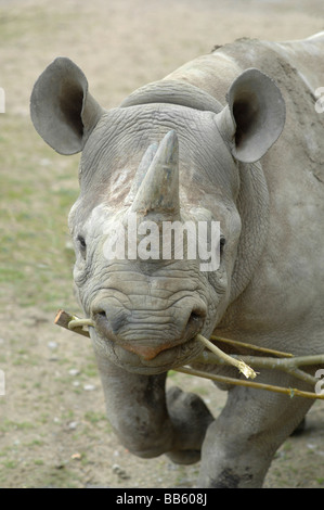 Black Rhinoceros charging with twigs in it's mouth - Stock Photo