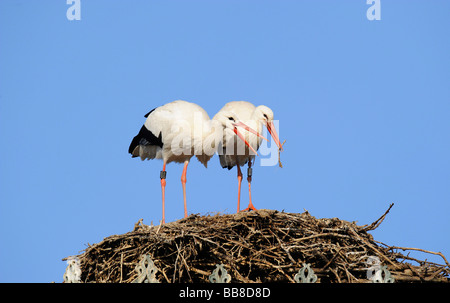 White Storks (Ciconia ciconia) in their nest, handing over nesting material, courtship - Stock Photo
