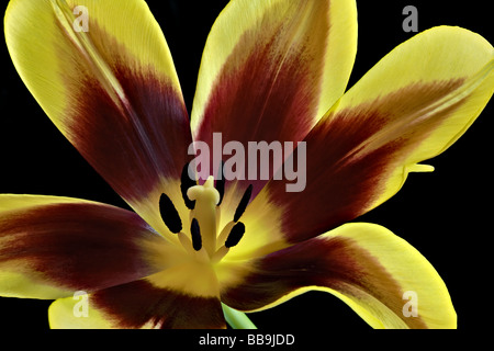 Detailed close-up of mahogany -red and yellow open tulip - Stock Photo