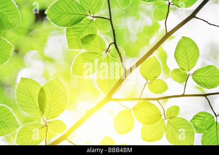 beech leaves and sun light - Stock Photo