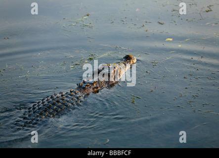 Saltwater crocodile (Crocodylus porosus).  Yellow Water Wetlands, Cooinda, Kakadu National Park, Northern Territory, - Stock Photo