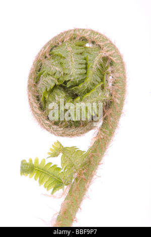 Curled fern frond over white background - Stockfoto