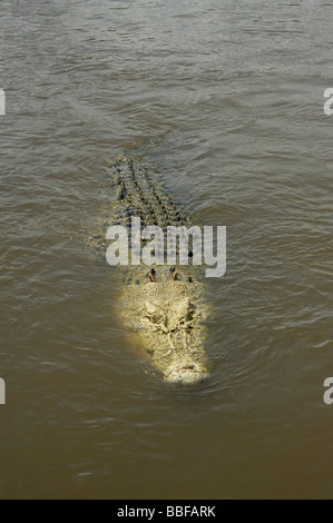 Saltwater crocodile Crocodylus porosus with an unpigmented head swimming at surface of Adelaide River Australia - Stock Photo