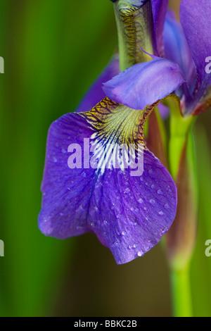 iris petal close up - Stockfoto