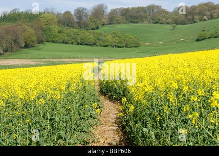Path through field of Rape seed, Canola, Westerham Hill, North Downs, Kent, England, UK - Stockfoto