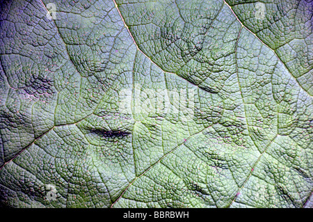 Chilean rhubarb, (Gunnera tinctoria), Chile - Stock Photo
