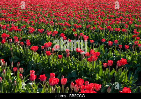 Fields of tulips at the skagit valley tulip festival in mount vernon stock photo royalty free for Golf galaxy palm beach gardens