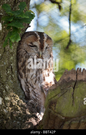 Tawny Owl (Strix aluco) sleeping against a tree during the daytime - Stock Photo