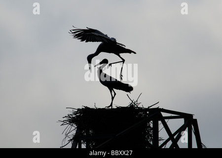 Silhouette of White Storks in nest during mating attempt - Stock Photo