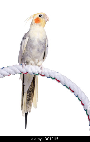 Cockatiel perching on a rope Nymphicus hollandicus in front of a white background - Stock Photo