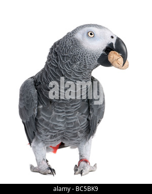 African Grey Parrot eating a peanut Psittacus erithacus in front of a white background - Stock Photo