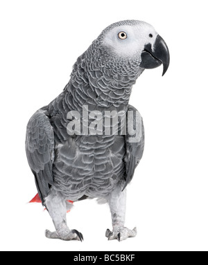 African Grey Parrot Psittacus erithacus in front of a white background - Stock Photo
