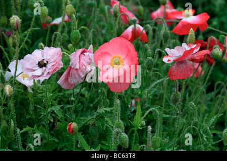 Poppies after the rain - Stock Photo