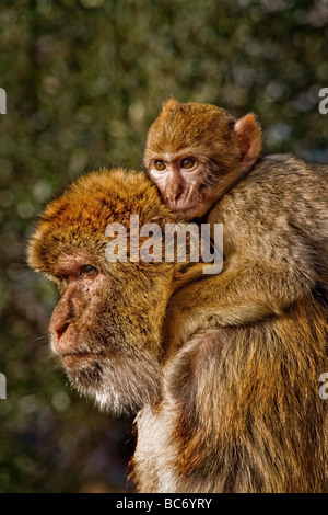 A young Barbary Macaque Macaca sylvanus hugs its mother at the Queens Gate Ape Den on the Upper Rock of the Rock - Stock Photo