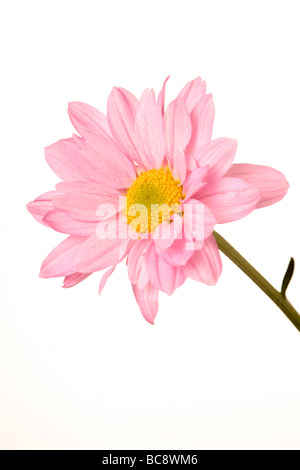 Daisy may refer to a flower of the family Asteraceae, especially the common daisy Bellis perennis. - Stock Photo