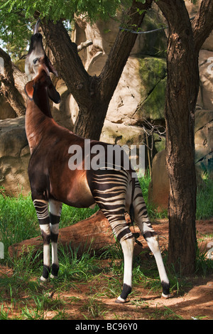 Okapi Herbivorious mammal with unusual markings The Flagship species of the Ituri Rainforest Democratic Republic - Stock Photo