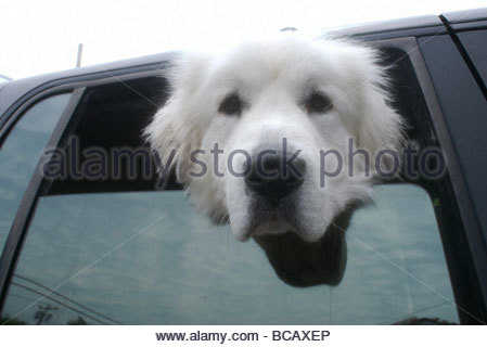 A dog looks out from a car window. - Stock Photo