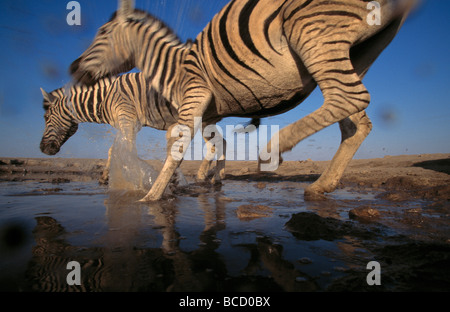 BURCHELL'S or PLAINS ZEBRA (Equus burchelli) two running in waterhole. Etosha National Park. Namibia - Stock Photo
