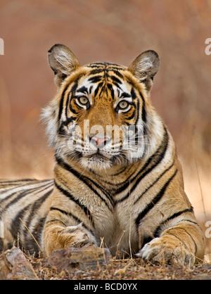 Bengal Tiger (Panthera tigris tigris) female by temple. Ranthambore. India - Stock Photo