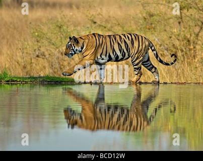 BENGAL TIGER (Panthera tigris tigris) male on lake. Bandhavgarh. India - Stock Photo