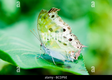 indian moon moth (lat. actias selene) with green background focus is on the eye - Stock Photo