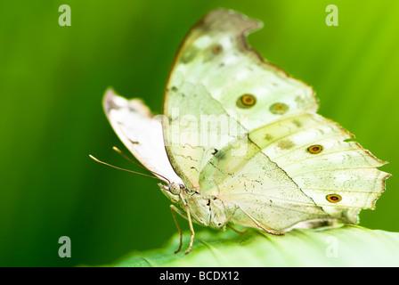 indian moon moth lat actias selene with green background - Stockfoto
