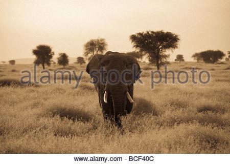 An African elephant walks through the Serengeti plains. - Stock Photo