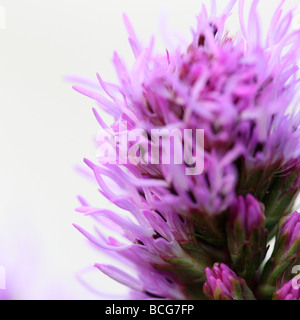 liatris on white fine art photography Jane Ann Butler Photography JABP415 - Stock Photo