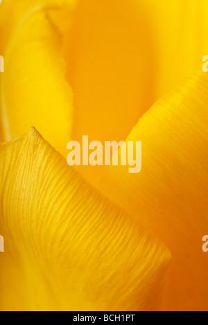 spring tulip flower petals background close up - Stock Photo