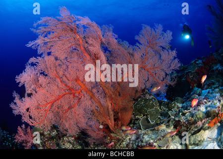 Red Gorgonian Fan and Scuba Diver Melithaea spec Similan Islands Andaman Sea Thailand - Stock Photo