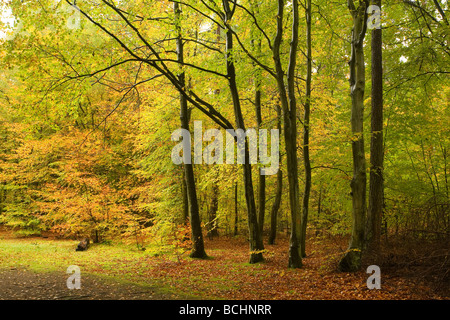 Beech trees at Rishbeth Wood in Thetford Forest in autumn colours. - Stock Photo