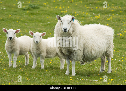 Sheep, Ewe with Lambs, June, Monach Isles, Outer Hebrides, Scotland - Stock Photo