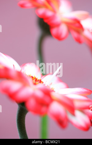 beautiful image of red tipped gerberas fine art photography Jane Ann Butler Photography JABP380 - Stock Photo