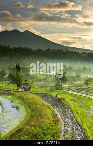 ox driven plough in the terraced rice fields nr Tirtagangga at dawn with the volcanic peak of Gunung Lempuyang, - Stockfoto