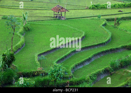 the terraced rice fields, near Tirtagangga, Bali, Indonesia - Stock Photo