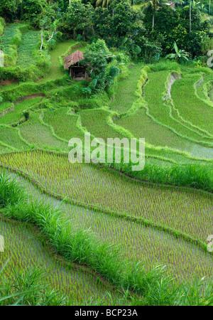 the terraced rice fields, near Tirtagangga, Bali, Indonesia - Stock Photo