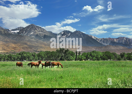 Brown Horses Grazing in the Mountain Meadows Outdoors - Stock Photo
