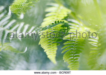 Dryopteris filix-mas Fern - Male fern - Stock Photo