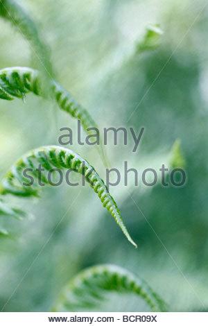Pteridium - variety not identified Fern - Bracken - Stock Photo