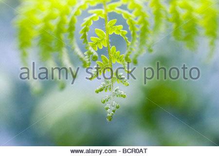 Pteridium, Fern, Bracken - Stock Photo