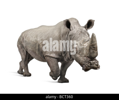 White Rhinoceros or Square lipped rhinoceros, Ceratotherium simum, 10 years old, in front of a white background - Stock Photo