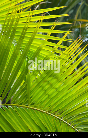 Palm frond closeup ideal for a jungle theme or background - Stock Photo
