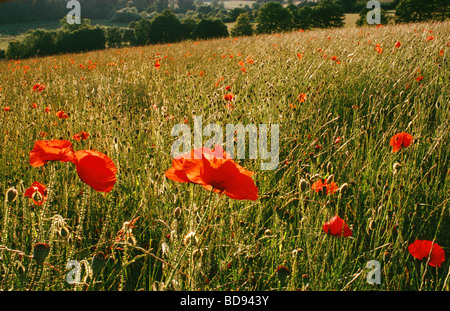 FIELD OF POPPIES POPPY FIELD - Stock Photo